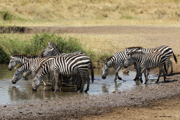 Herd of common zebras drinking from a water hole