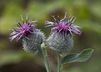 Flowers burdock