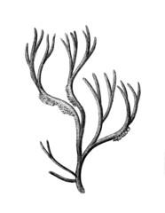Victorian engraving of an algae