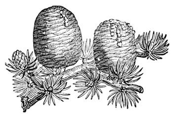 Victorian engraving of a cedar tree branch