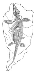 19th century engraving of a fossil ichthyosaurus dinosaur