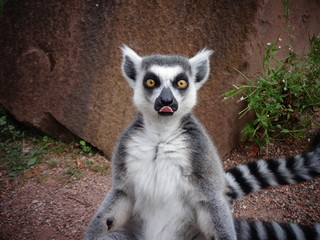 lémurien tirant la langue