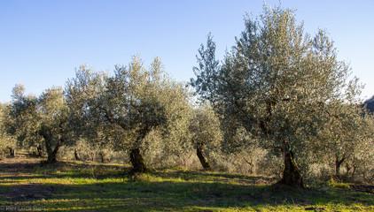 Campo di olivi