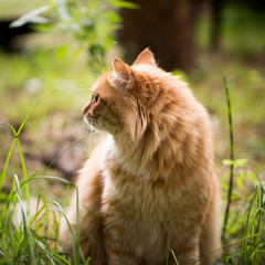 Beautiful red cat on the grass