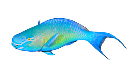 Parrotfish isolated on white background