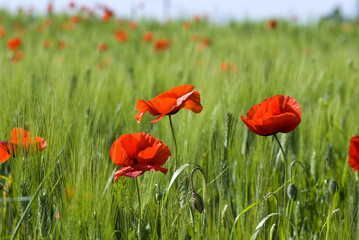 Red poppy in a green field
