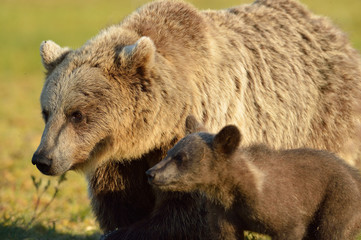 Brown bear with cub, North Karelia, Finland