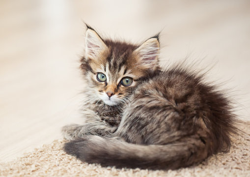 Maine Coon kitten lying on a carpet. small depth of field