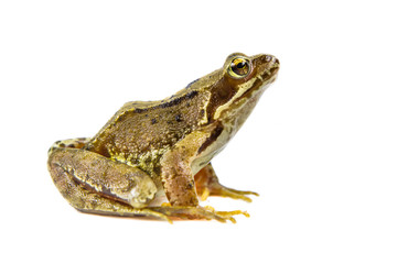 Cut out Common frog