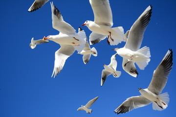 ekmek peşinde uçan martılar