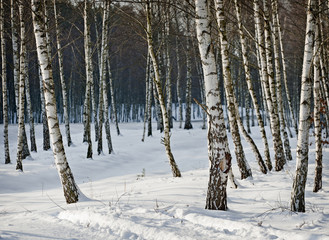 Birch forest in winter.