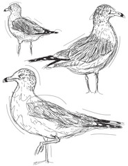 Seagull sketches