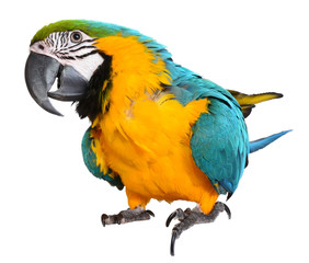 Fotobehang Papegaai Blue and Gold Macaw