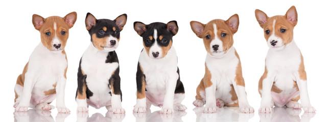 five adorable basenji puppies