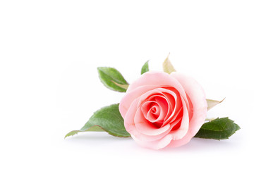Photo sur Toile Roses pink rose flower on white background