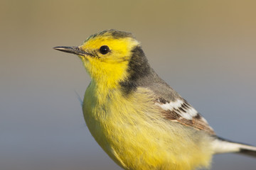 Yellow-headed wagtail