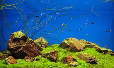 Neon fishes in freshwater aquarium