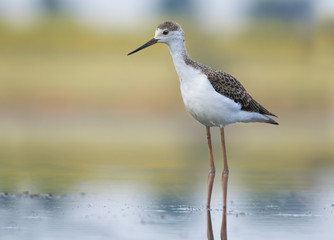 Juvenile Black-winged Stilt