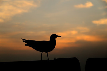 Seagull with sunset at Bang Pu beach