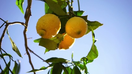 Wall Mural - lemons on the branch