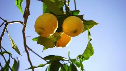 Fototapete - lemons on the branch