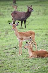 Gazzelle,Kenya.