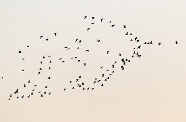 a flock of birds at sunset