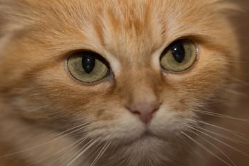Rode kat in close-up