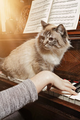 Wall Mural - chat sur piano