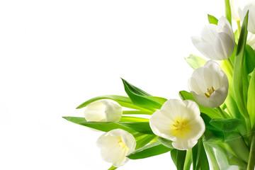 white tulips isolated on white background