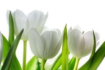white tulip flowers isolated on white