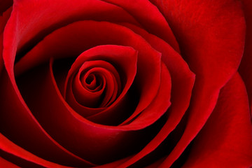Vibrant Red Rose Close Up Macro - Abstract