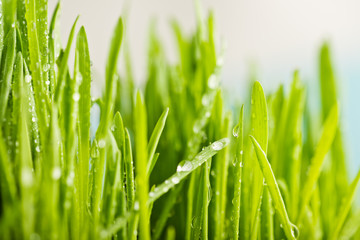 close up of nature fresh green grass with dews drop