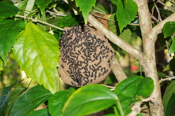 Paper wasp nest Polybia Sp with wasps outside