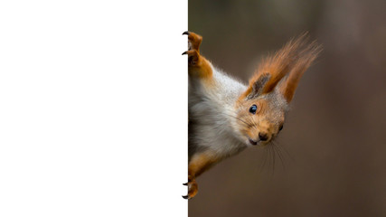 red squirrel holding a poster