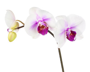 Blooming twig of white purple orchid isolated on white backgroun