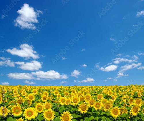 Wall mural sunflowers field