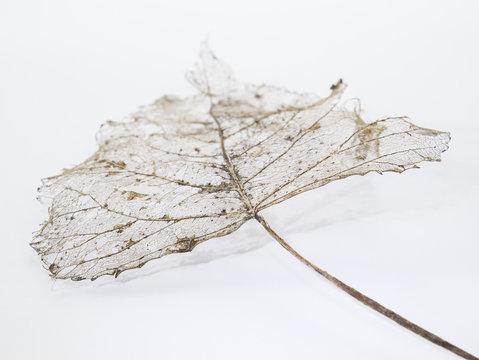 leaf skeleton with veins and stalk