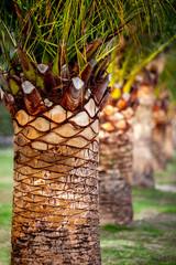 Date palm-3