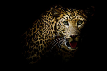 Foto op Plexiglas Luipaard Close up portrait of leopard with intense eyes