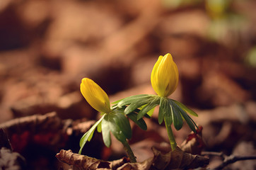 Winter aconite in early spring