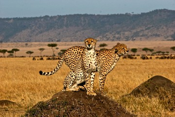 Cheetah brother