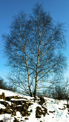 Birch on a snowy stony slope