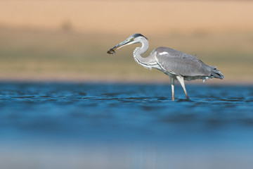Grey heron with fish