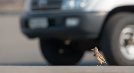 Crested Lark and Car