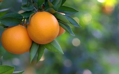 Апельсины в саду. Апельсиновый сад.