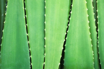 Aloe leaves background
