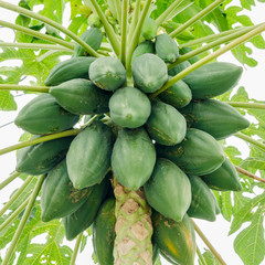 fresh papaya tree with bunch of fruits on white background