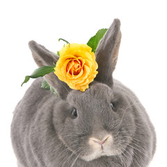 Grey rabbit with a yellow rose. Square image.