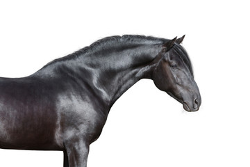 Black horse portrait on white background, isolated.